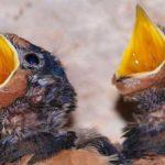 Achtung – Babys sind keine Vogelküken!