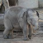 Die Geburt eines Elefantenbabys